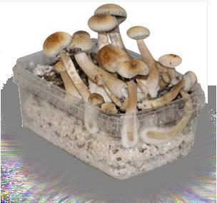 Buy Albino Magic Mushroom